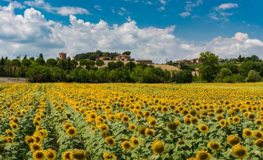 A field of sunflowers in the Tuscan countryside, Italy